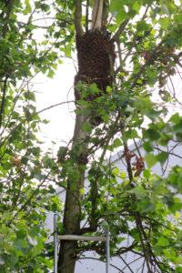 Bienenschwarm - Einfangen - Foto: Sabine Rübensaat