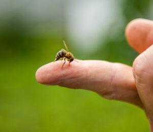 Was hilft gegen Corona: Bienengift AdobeStock/ sergo321