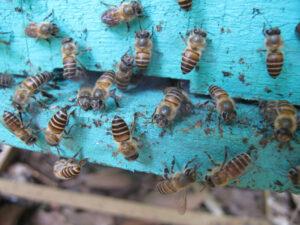 Asiatische Honigbiene gegen Riesenhornisse Vespa soror - Kot an den Nesteingängen, Foto: University of Guelph