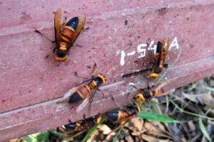 Asiatische Honigbiene gegen Riesenhornisse Vespa soror - Angriff auf das Bienenvolk, Foto: University of Guelph