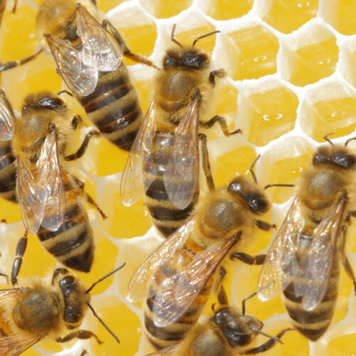Bienen mit Honig füttern - Foto: Sabine Rübensaat
