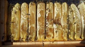 Honigernte in der wesensgemäßen Bienenhaltung - Honigwaben in der Beute, Foto: Heinz Risse
