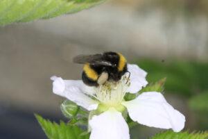 Bienenhonig - Hummel auf Blüte - Foto: Sabine Rübensaat