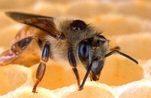 Späte Sommertrachternte: Vorsicht Varroabelastung