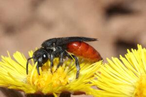 Wildbiene - Blutbiene