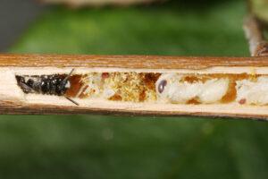 Wildbiene - Schwarze Keulhornbiene
