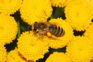 Wildbiene - Seidenbiene