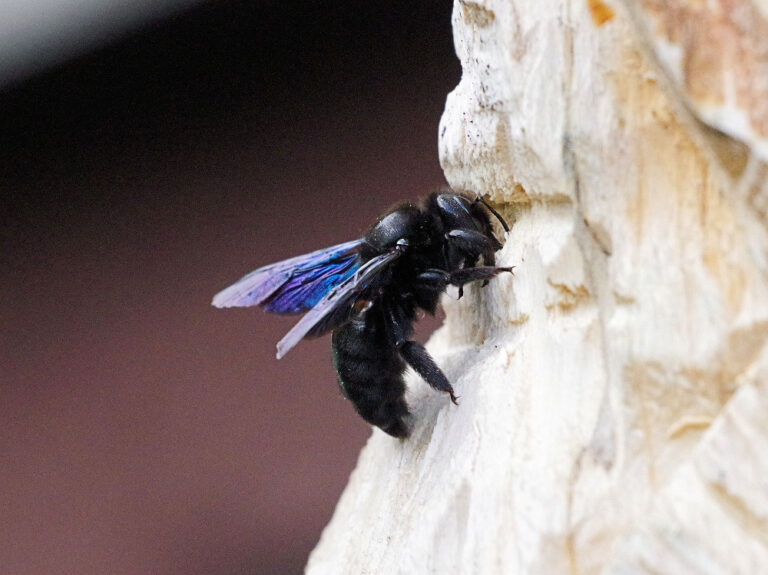 Holzbiene beim Nestbau