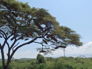 Imkern in Äthiopien - wilde Schwärme - Foto: Silke Beckedorf
