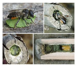 Bunte Blattschneiderbiene beim Nestbau