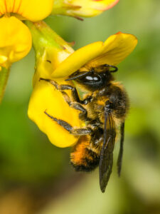 Bunte Blattschneiderbiene