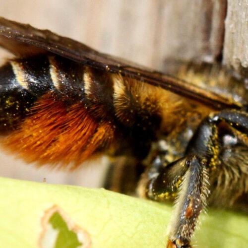 Weibchen der Bunten Blattschneiderbiene