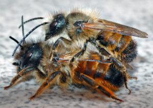 Pärchen Roter Mauerbienen (Osmia rufa) (Copyright: André Karwath)