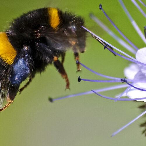 Hummeln Honig